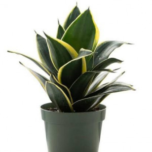 Snake plant dawrf